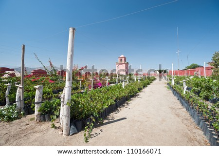 This image shows a vineyard in Ica, Peru - stock photo