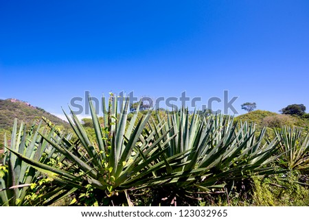 This image shows agave plants (tequila) in Mexico - stock photo