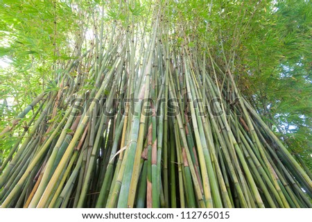 This image shows bamboo within Sydney's Royal Botanical Garden - stock photo