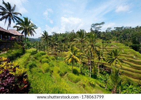 This image shows Rice Terraces near Ubud, Bali, Indonesia - stock photo