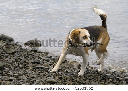 this is a beagle playing in the water - stock photo
