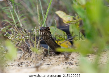 This is a Black racer (Coluber constrictor) snake on sand  - stock photo