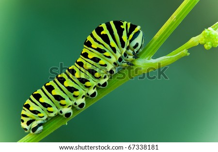 This is a black swallowtail larva on a celery stem (Papilio polyxenes)  - stock photo