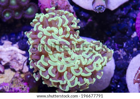 This is a branching torch coral, Euphyllia glabrescens. - stock photo