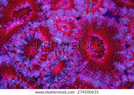 This is a bright red Acanthastrea colonly with its sweeper tentacles extended. - stock photo