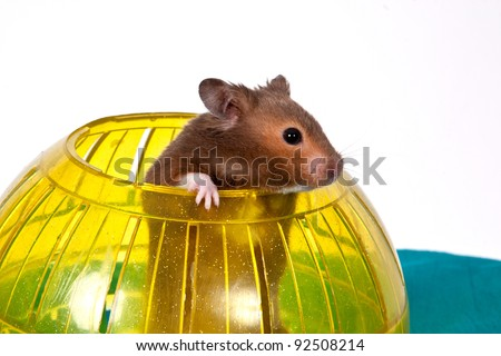 This is a Brown Hamster pooping his head and shoulders out of a Yellow Ball. The Blue bottom adds depth and a touch of Spring. - stock photo