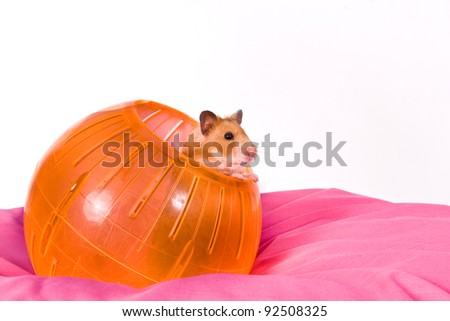 This is a Brown Hamster pooping his head and shoulders out of a Yellow Ball. The Pink bottom adds depth and a touch of Spring. - stock photo