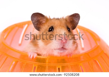 This is a Brown Hamster with his Yellow Ball. The colorful bottom adds depth and a touch of Spring.