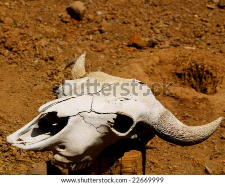 This is a caw skull bleached by the sun - stock photo