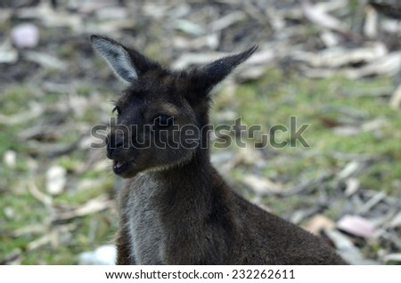 this is a close up of a joey kangaroo - stock photo