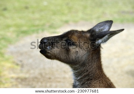 this is a close up of a kangaroo - stock photo