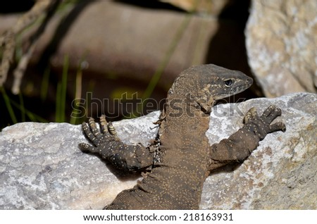 this is a close up of a lace monitor lizard - stock photo