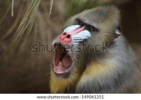 this is a close up of a mandrill yawning - stock photo