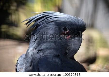 this is a close up of a palm cockatoo - stock photo