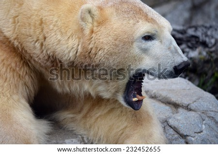 this is a close up of a polar bear - stock photo