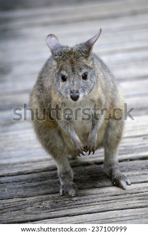 this is a close up of a red necked pademelon - stock photo