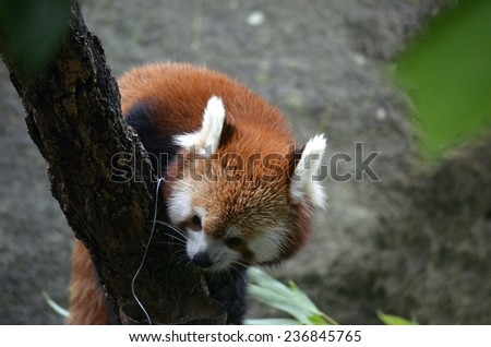 this is a close up of a red panda - stock photo