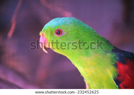 this is a close up of a red shouldered parrot - stock photo