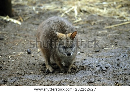 this is a close up of a tammar wallaby - stock photo