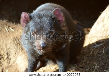 this is a close up of a Tasmanian devil - stock photo