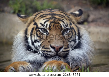 this is a close up of a tiger - stock photo
