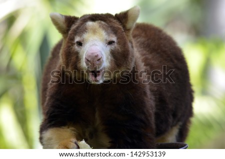 this is a close up of a tree kangaroo eating - stock photo