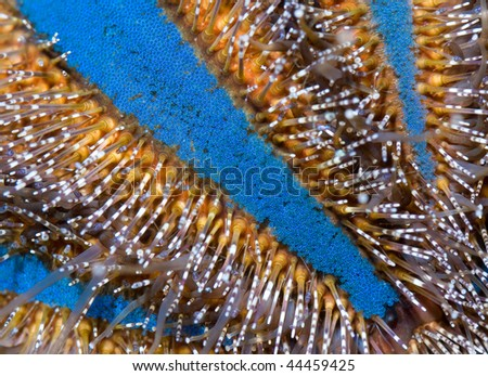 This is a close-up of a tuxedo sea urchin's spines.   - stock photo