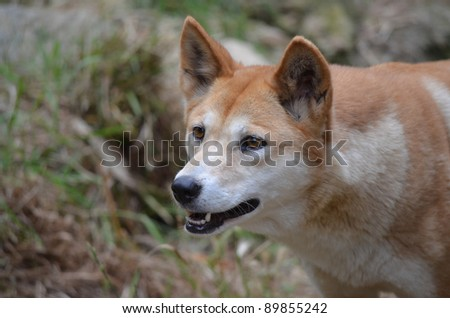 this is a close up of an Australian golden dingo