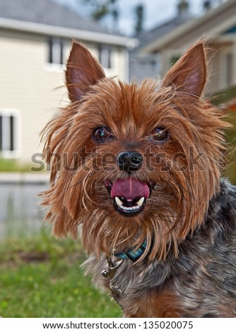 This is a cute Yorkshire Terrier dog, commonly known as a Yorkie, closeup with his tongue slightly out and curled.  Sweet pet, outdoors. - stock photo
