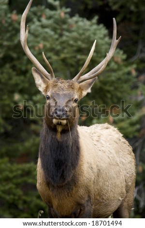 This is a front view of an elk.