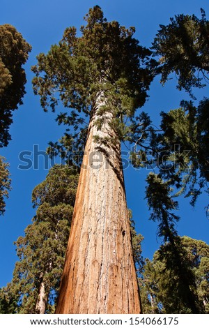 This is a giant sequoia in Mariposa Grove  located near Wawona, California, United States, in the southernmost part of Yosemite National Park. - stock photo