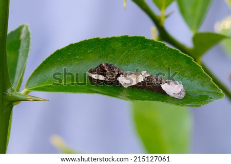 This is a giant swallowtail caterpillar on a citrus leaf that looks like bird droppings