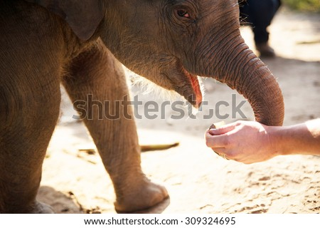 This is a horizontal, closeup shot of a baby Asian elephant being hand fed in Chiang Mai, Thailand. A man's white hands are depicted holding food. Natural daylight illuminates the outdoor scene.   - stock photo