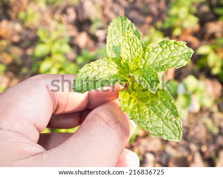 This is a Lemon balm in hand have a ground background - stock photo