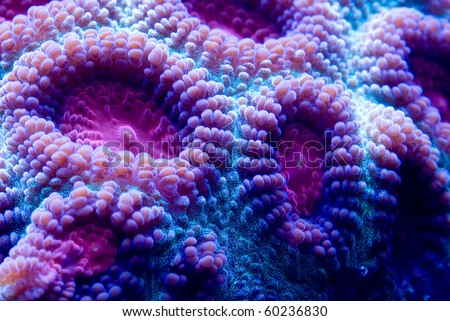 This is a macro photograph of a purple and blue closed brain coral (Favia sp.). - stock photo