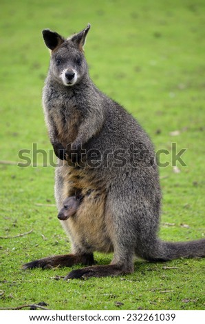 this is a mother wallaby with a joey in her pouch - stock photo