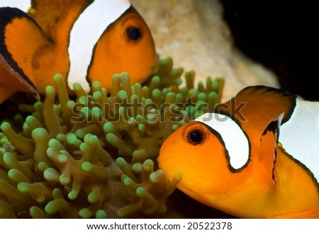 This is a pair of clownfish hosting their anemone. - stock photo