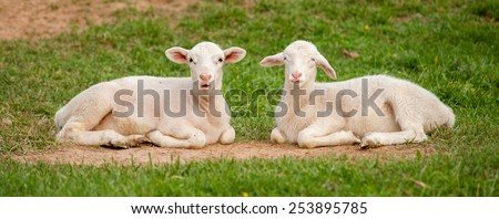 This is a panoramic image of two young lambs (Ovis aries) resting on the ground after playing hard on the farm. One has it's mouth open as if it were talking. - stock photo