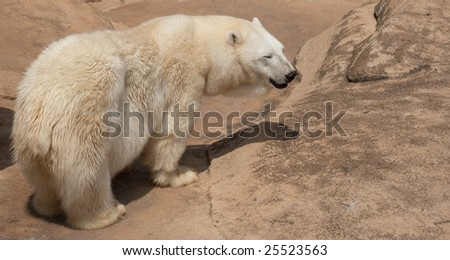 This is a photo of a ice bear on a rock - stock photo