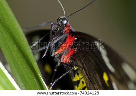 This is a photo of a Swallowtail Butterfly, believed to be a Black Swallowtail Butterfly, of the Papilionidae family, may be an Orchard Swallowtail. - stock photo