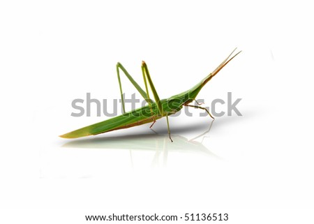 This is a photo of green locust on white background