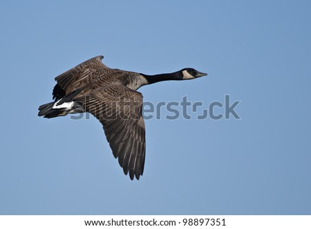 This is a photograph of a Canada Goose in flight. - stock photo
