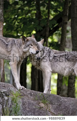 This is a photograph of a pair of Timber Wolves standing on a rock. - stock photo