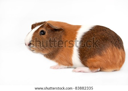 This is a picture of a brown, white and orange guinea pig taken with a white background. - stock photo