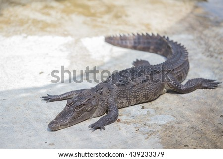This is a picture of a saltwater crocodile for message - stock photo