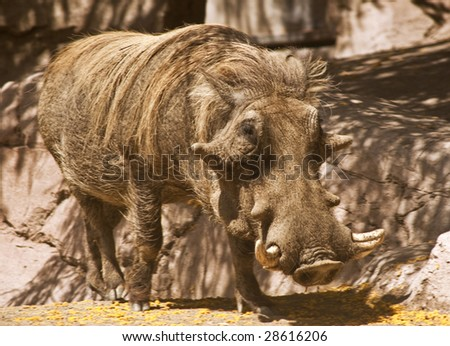 This is a picture of a South African warthog