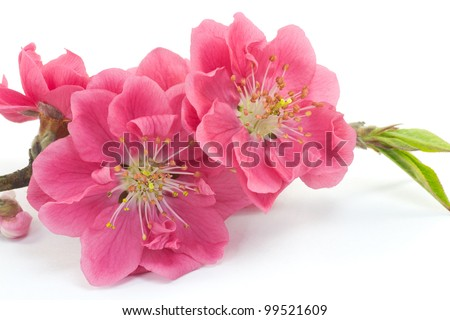 This is a picture of plum flowers is typical of the spring flower of Japan. - stock photo