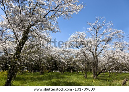 This is a picture of the forest of cherry blossoms was taken to a sunny day.