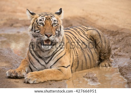 This is a picture of the Indian tiger in the national park. An excellent illustration in the soft light.
