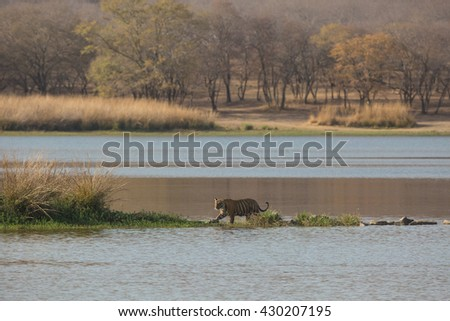 This  is a picture of the Indian tiger which took in natural habitat. Tiger is crossing lake. It is an excellent illustration in the soft light which shows wild life.